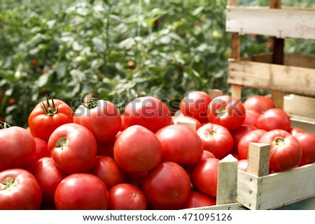 fresh organic tomatoes in a crate