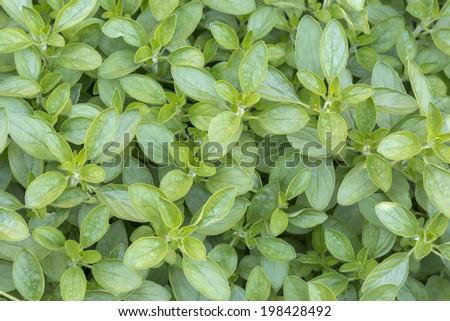 Fresh origanum herb as background - stock photo