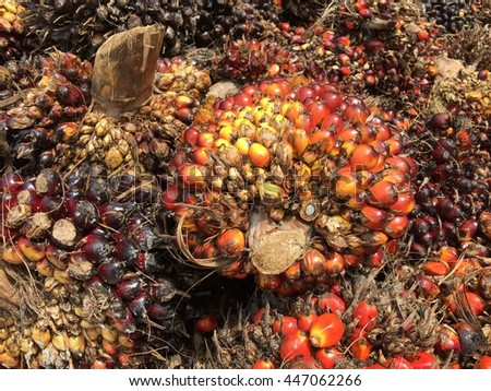 Fresh Palm Oil Fruit - stock photo