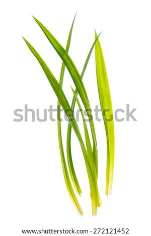 Fresh Pandan leaves isolated on white background, also known as Pandanus Palm , Fragrant Pandan , Pandom wangi.(Pandanus amaryllifolius) - stock photo