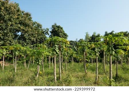 fresh papaya tree with bunch of fruits - stock photo