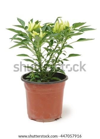 Fresh Paprika, seedling in a pot