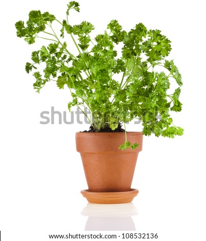 fresh  parsley in a clay pot , close up , isolated on a white background - stock photo