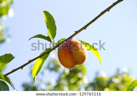 fresh peach on the tree - stock photo