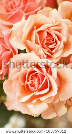 Fresh peach roses from a bouquet basking in the afternoon spring sunshine - stock photo