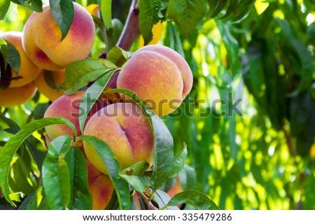 Fresh peach tree - stock photo