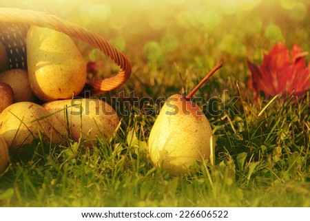 Fresh pears in nature. - stock photo