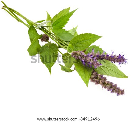 fresh peppermint herb Isolated and flowers - stock photo