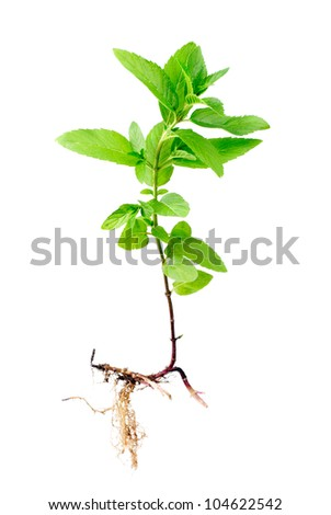 Fresh peppermint  with root isolated on a white background - stock photo