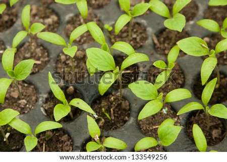 Fresh peppers seedlings, in a greenhouse - stock photo