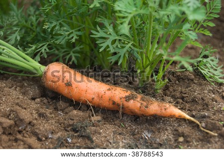Fresh picked carrot lays in a field