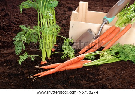 Fresh picked garden carrots with wood box - stock photo