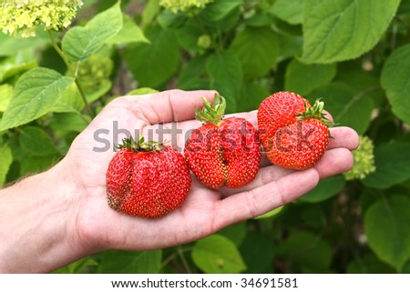 Fresh picked strawberries held over plants
