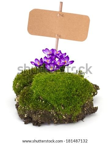 Fresh piece of  moss with tag and crocuses isolated on white background. Element for design.