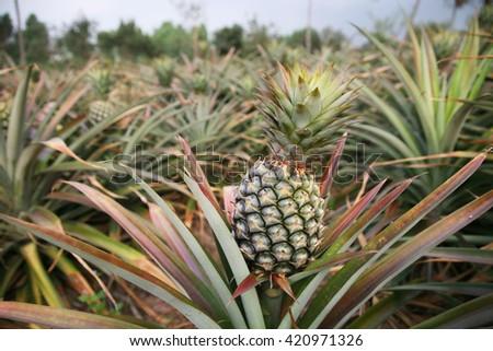 Fresh pineapple on tree, focus at right pineapple fruit. - stock photo