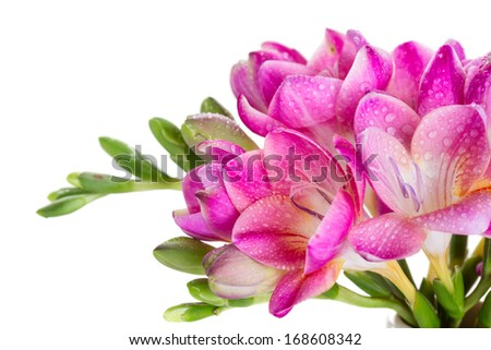 Fresh pink flowers with water drops - stock photo