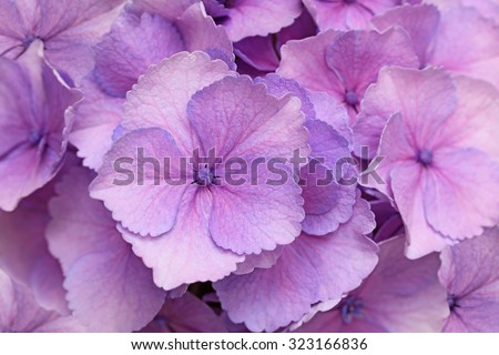 Fresh pink hortensia flower for natural background - stock photo