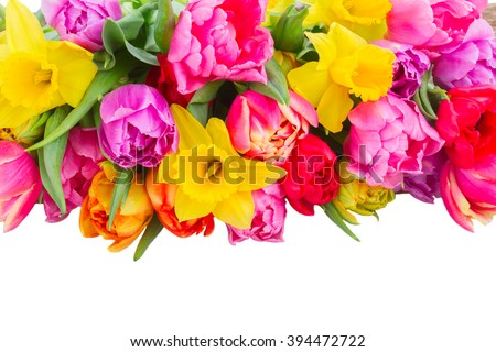 fresh pink, purple and red  tulips and daffodils flower border  isolated on white background - stock photo