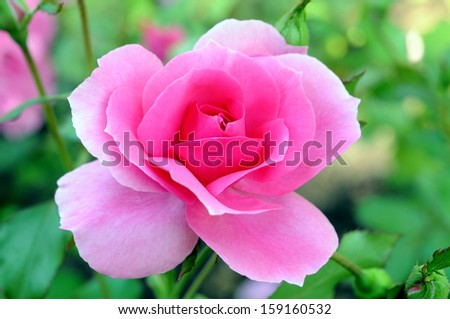 fresh pink rose in garden  - stock photo