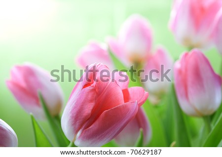 fresh pink tulips - stock photo