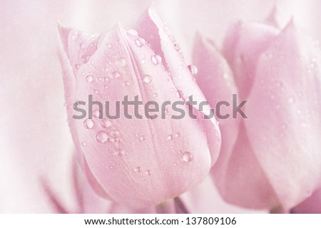 Fresh pink tulips with a light texture. - stock photo
