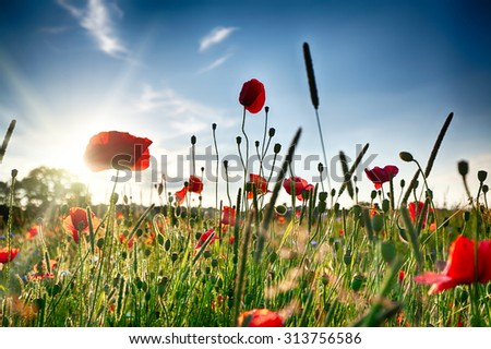 Fresh poppies in spring with blue skies and sunlight - stock photo