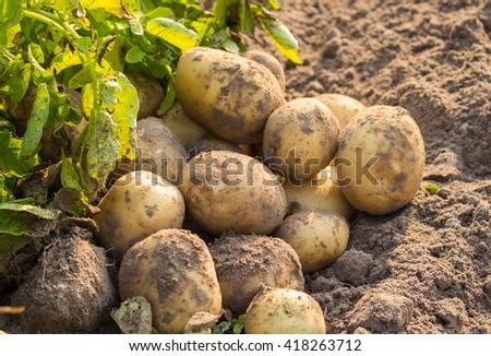 Fresh potato  im  thefarm on the surface of the soil - stock photo