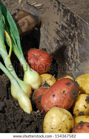 Fresh potatoes and onions at harvest of organic farms - stock photo