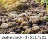 fresh potatoes in field. - stock photo