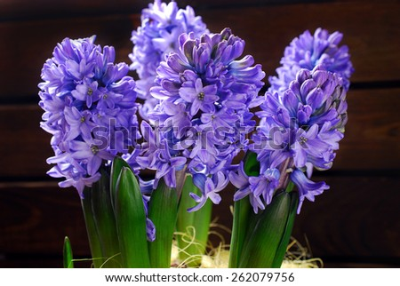 fresh purple color hyacinth flowers on wooden background - stock photo