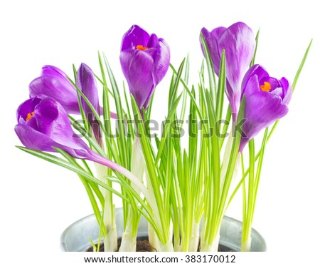 Fresh purple crocus flowers isolated on white background