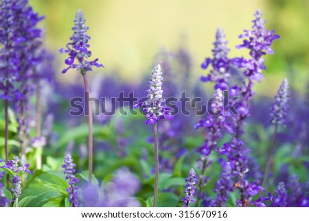 Fresh purple lavender flowers with green leafs for nature background with selective focused point - stock photo