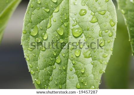 Fresh rain droplets on a bright green leaf. - stock photo