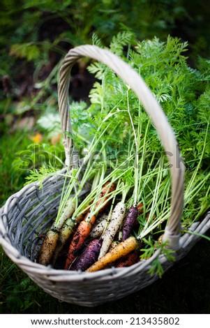 Fresh rainbow carrots picked from the garden - stock photo