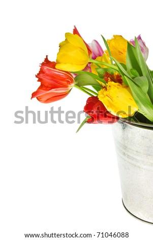 Fresh rainbow tulips on white background - stock photo