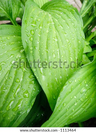 Fresh raindrops glisten on the large green tropical leaves. - stock photo