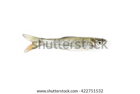 Fresh raw fish,Fingerlings,Seven-striped barb, Julian's golden carp Isolated on white background
