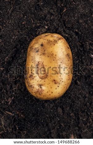 fresh raw potato on the soil background - stock photo
