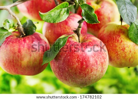 fresh red apples on a tree - stock photo