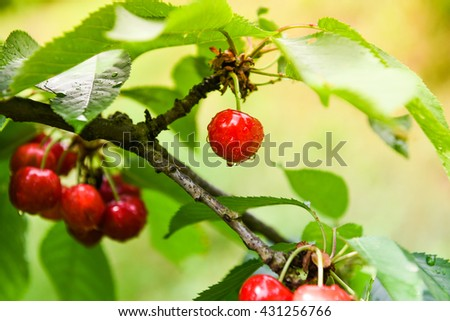 Fresh red cherries hanging on a cherry tree branch in orchard. Wet from the rain. - stock photo