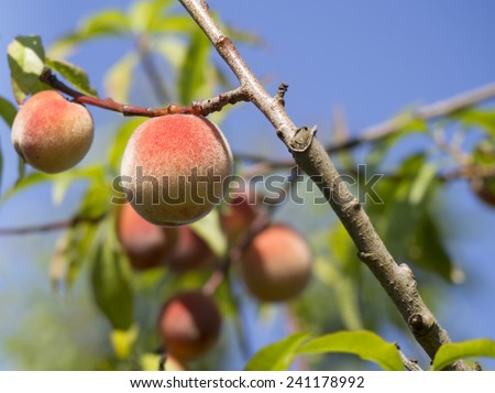 Fresh red peaches on branch of peach tree against blue sky, shallow depth of field - stock photo