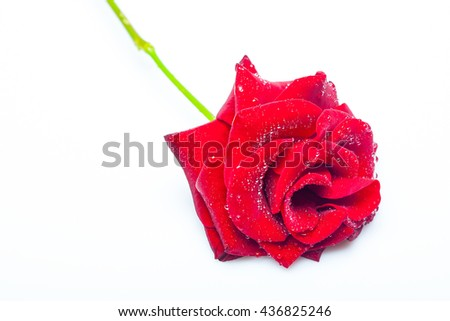Fresh red rose flower with water drops on soft petals lying isolated on white background