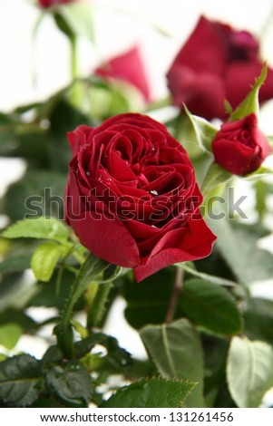 Fresh red roses with green leaves