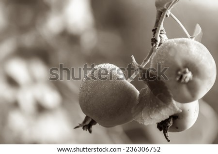 Fresh ripe apples with drops of rain on a branch of an apple tree in sepia - stock photo