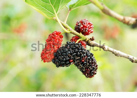Fresh ripe mulberry berries on tree - Fresh mulberry  - stock photo