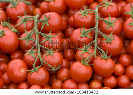 fresh ripe red tomatoes on the vine harvested