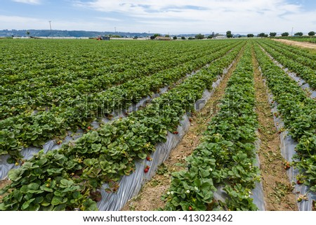 Fresh ripe strawberries in field reading for harvesting. - stock photo