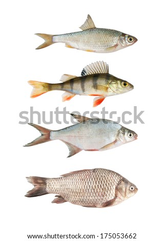 Fresh river fish collection isolated on white  - stock photo
