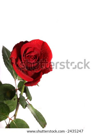 fresh rose with water  sparks on the withe paper - stock photo