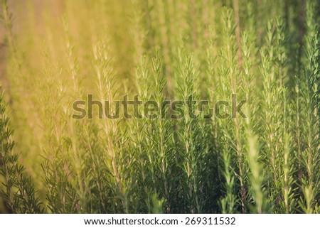 Fresh rosemary herb growing. Horizontal shot - stock photo